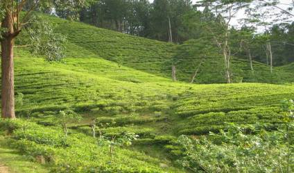 Tea land for sale/rent