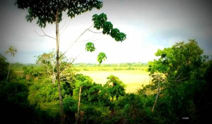 Paddy land for sale/rent