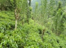 Kitulgala Tea land for sale/rent