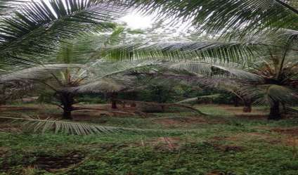 Coconut land for sale/rent