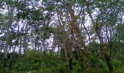 Rubber land for sale/rent