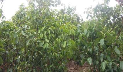 Cinnamon land for sale/rent