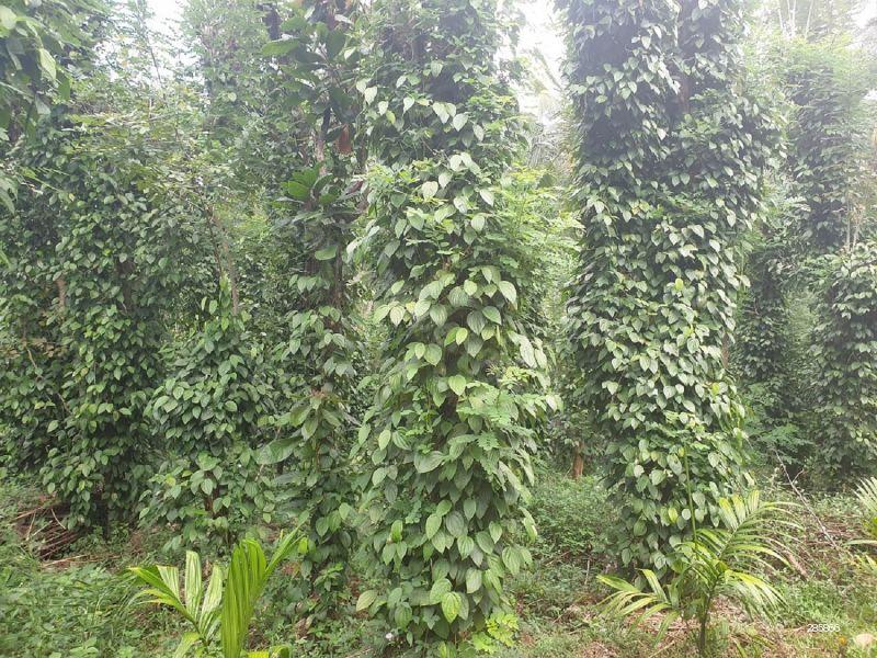 Cultivated Land for sale in Matale