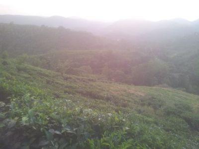 Tea land